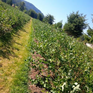 Rows of gorgeous, healthy blueberry bushes at Creswell Blueberies! Photo courtesy of Brandy Collier.